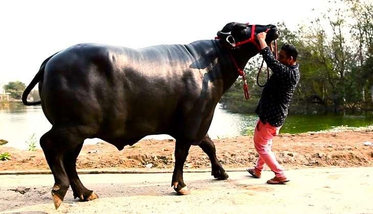 Big Bull Yuvraj, Harayan Bull Yuvraj